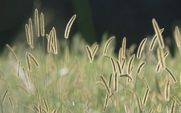 Bristle Grass - Apple Wallpaper