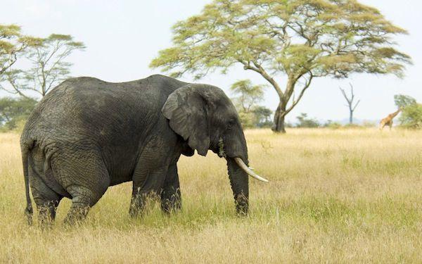 Elephant - Apple Wallpaper