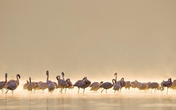Flamingos - Apple Wallpaper