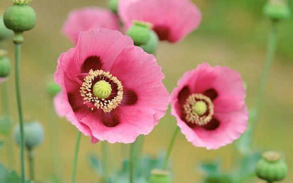 Poppies - Apple Wallpaper
